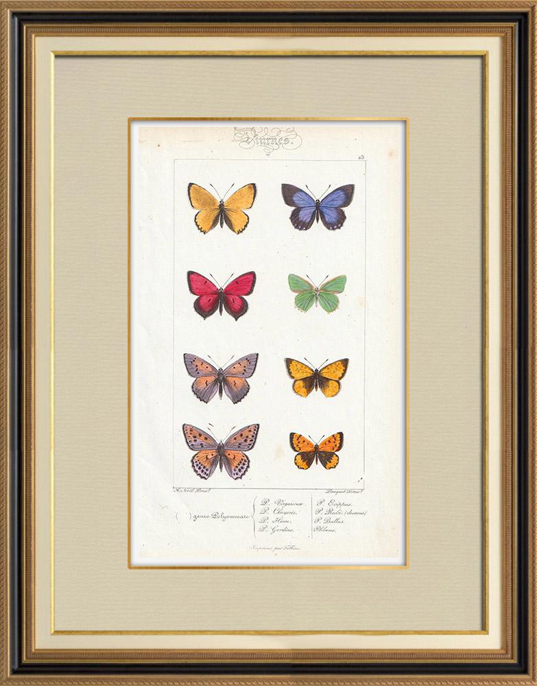 Gravures Anciennes & Dessins | Papillons d'Europe - Polyommate Virgaurea | Taille-douce | 1834