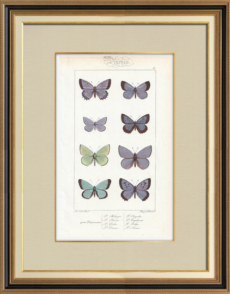 Antique Prints & Drawings | Butterflies of Europe - Polyommate Meleager | Intaglio print | 1834