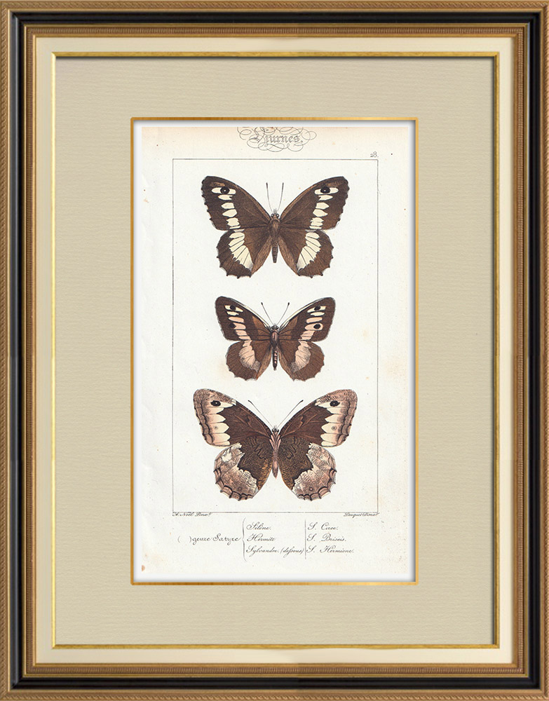 Stampe Antiche & Disegni   Farfalle dall'Europa - Satyre - Silène - Hermite - Sylvandre   Stampa calcografica   1834