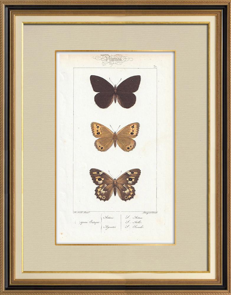 Antique Prints & Drawings | Butterflies of Europe - Satyre Actéon - Agreste | Intaglio print | 1834