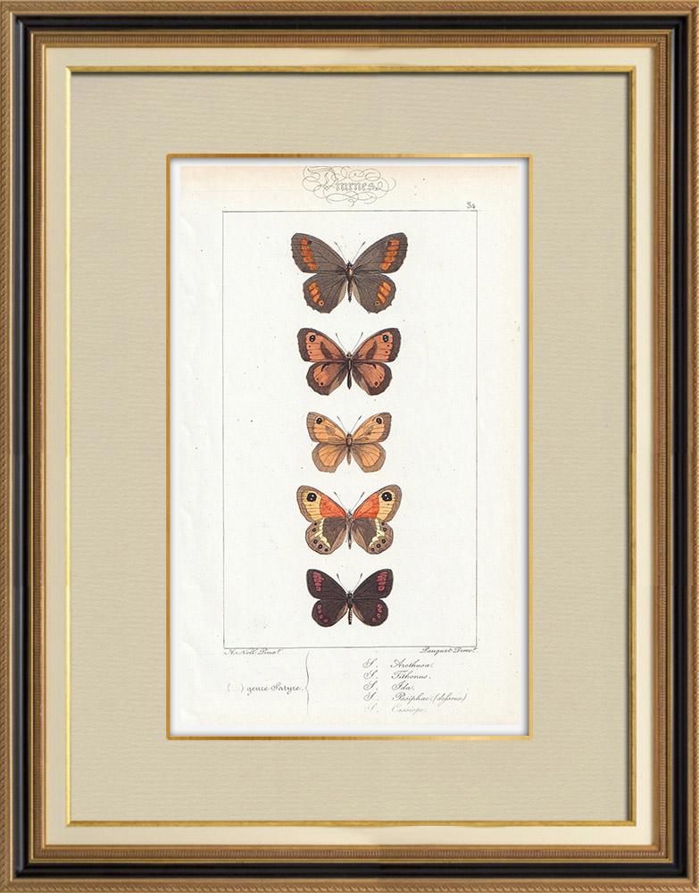 Antique Prints & Drawings | Butterflies of Europe - Satyre Arthusa | Intaglio print | 1834