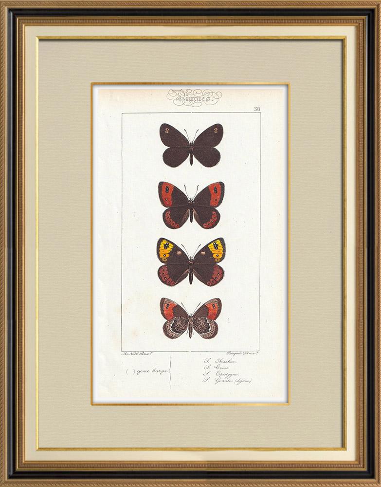 Stampe Antiche & Disegni | Farfalle dall'Europa - Satyre Arachne | Stampa calcografica | 1834