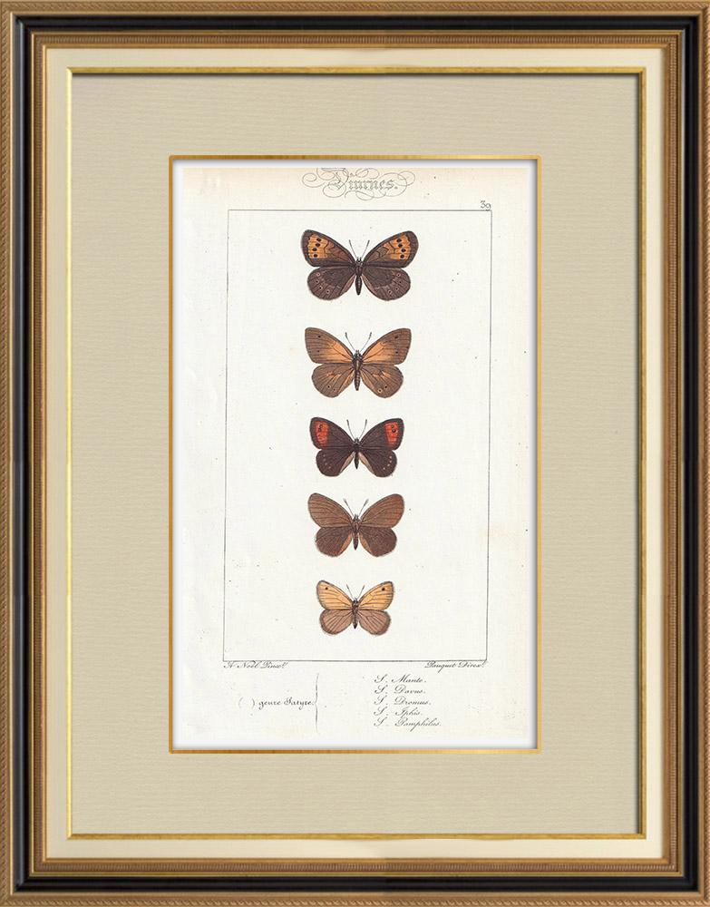 Gravures Anciennes & Dessins | Papillons d'Europe - Satyre Manto | Taille-douce | 1834