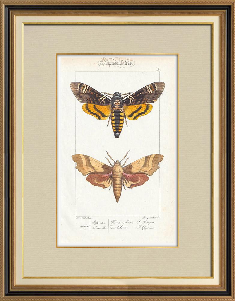 Grabados & Dibujos Antiguos | Mariposas Europeas - Sphinx Tête de Mort - Sinerinthe du Chêne | Grabado en talla dulce | 1834