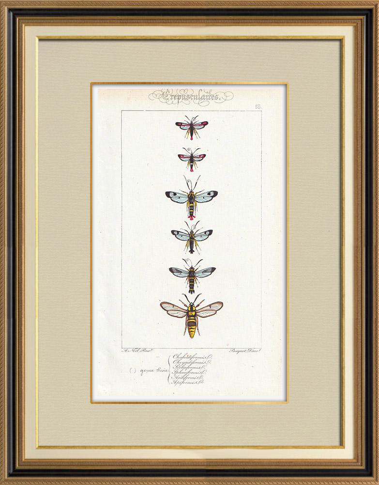 Antique Prints & Drawings   Butterflies of Europe - Sesie   Intaglio print   1834