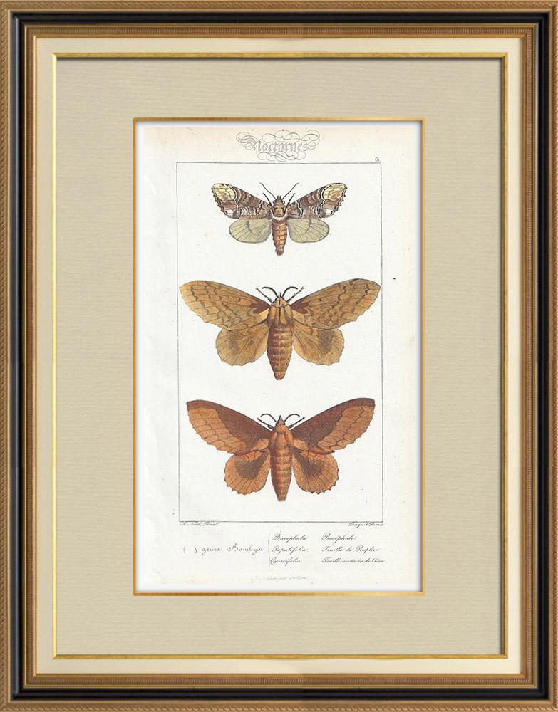 Stampe Antiche & Disegni | Farfalle dall'Europa - Bombyx Bucephala | Stampa calcografica | 1834
