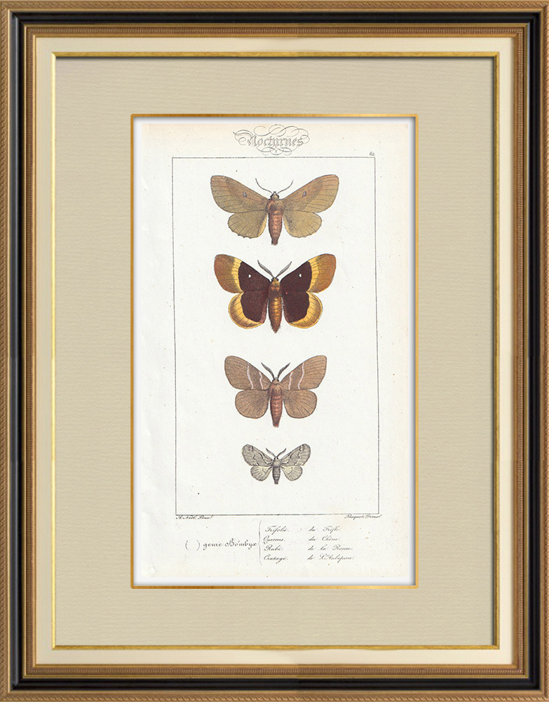 Antique Prints & Drawings | Butterflies of Europe - Bombyx Trifolii | Intaglio print | 1834