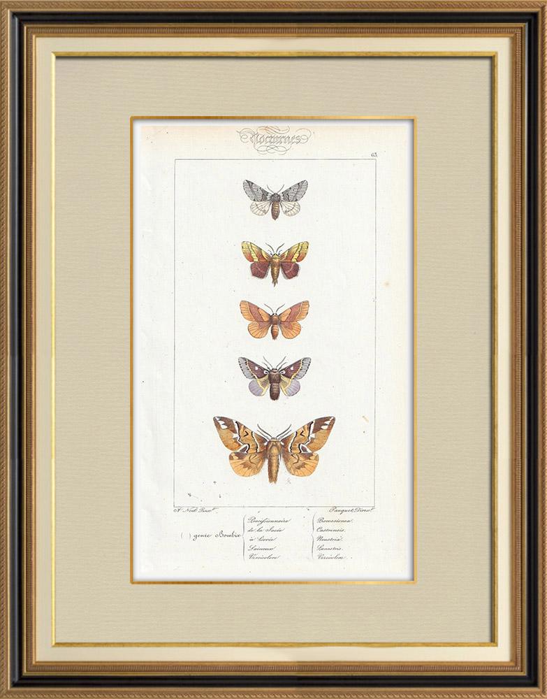 Stampe Antiche & Disegni   Farfalle dall'Europa - Bombyx Procèssionnaire   Stampa calcografica   1834