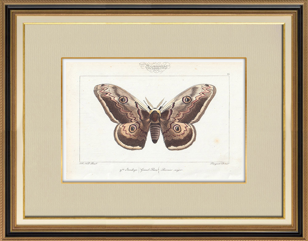 Antique Prints & Drawings | Butterflies of Europe - Bombyx Grand Paon | Intaglio print | 1834