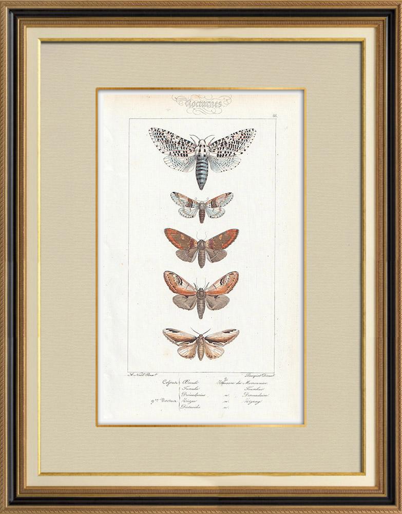 Gravures Anciennes & Dessins | Papillons d'Europe - Cossua - Noctua | Taille-douce | 1834