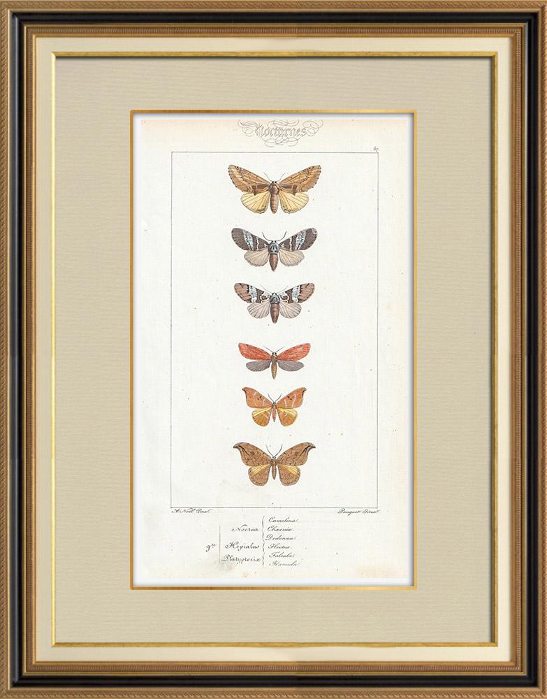 Stampe Antiche & Disegni   Farfalle dall'Europa - Noctua - Hepialus - Platypterix   Stampa calcografica   1834
