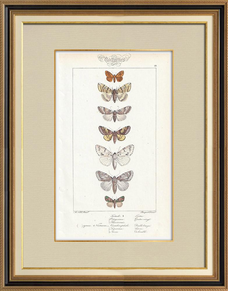 Gravures Anciennes & Dessins | Papillons d'Europe - Nocturne | Taille-douce | 1834