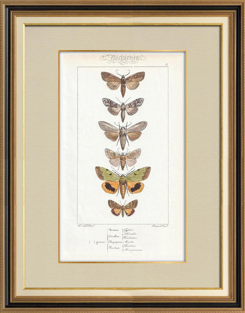 Antique Prints & Drawings | Butterflies of Europe - Noctua - Cucullia - Chrysoptera | Intaglio print | 1834