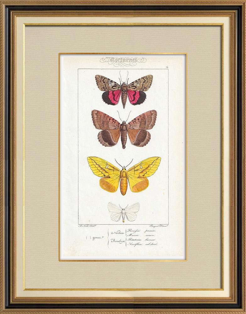 Stampe Antiche & Disegni   Farfalle dall'Europa - Noctua - Bombyx   Stampa calcografica   1834
