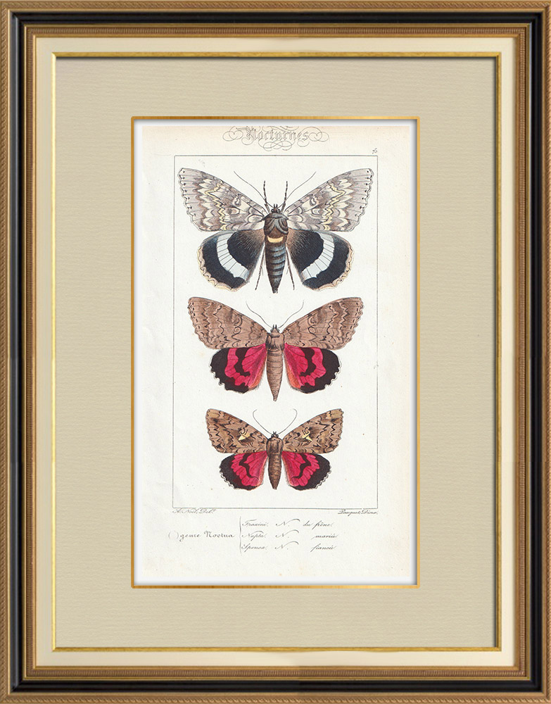 Oude Prenten & Tekeningen   Vlinders uit Europa - Noctua   Staalgravure   1834