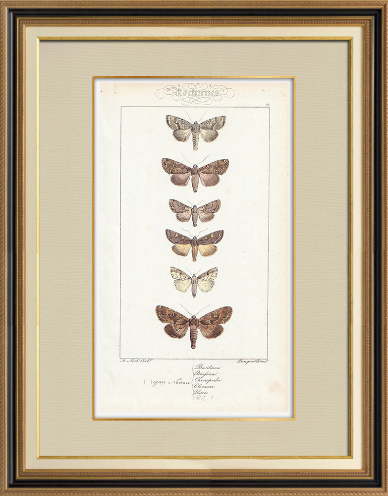 Stampe Antiche & Disegni   Farfalle dall'Europa - Noctua Basilinea   Stampa calcografica   1834