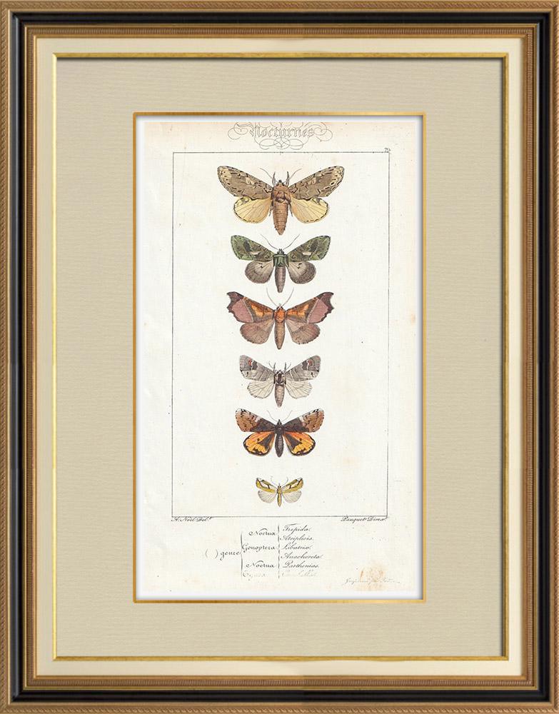 Gravures Anciennes & Dessins | Papillons d'Europe - Noctua - Gonoptera | Taille-douce | 1834