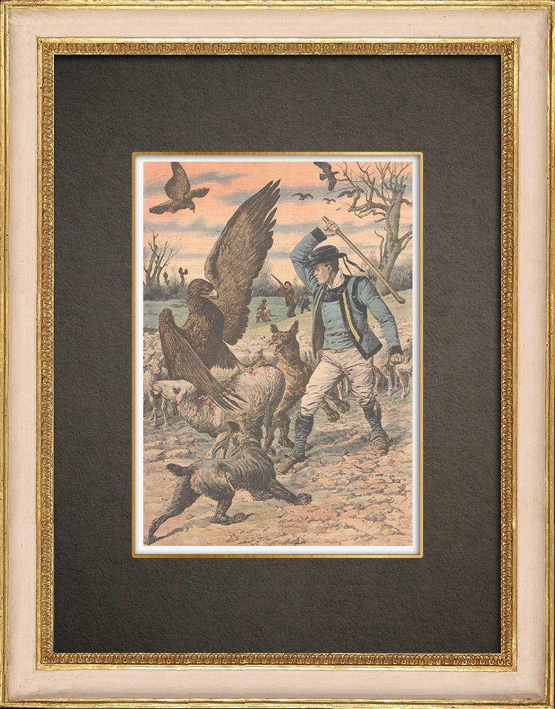 Stampe Antiche & Disegni | Aquile attaccano le pecore vicino a Lorient - Francia - 1909 | Incisione xilografica | 1909