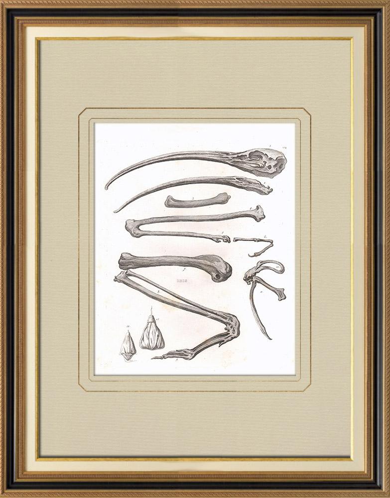 Stampe Antiche & Disegni | Scheletro dei Ibis (Egitto)  | Incisione su rame | 1830