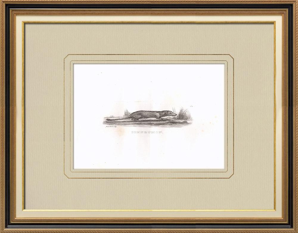 Gravuras Antigas & Desenhos | Ichneumon - Mangusta egiziana (Egito) | Gravura em buril sobre cobre | 1830