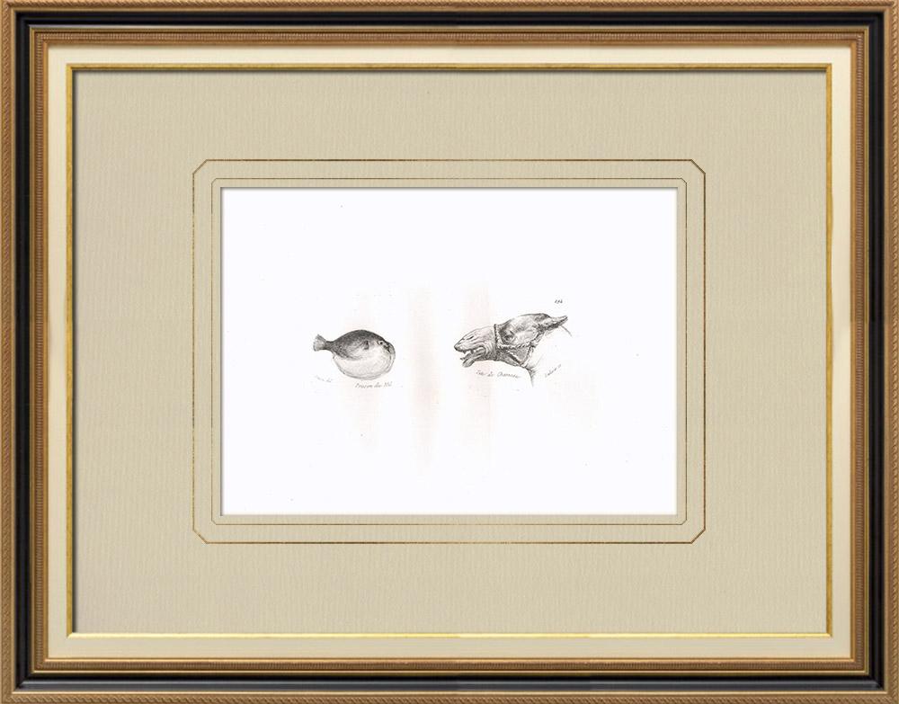 Gravuras Antigas & Desenhos | Peixe do Nilo - Cabeça de camelo (Egito) | Gravura em buril sobre cobre | 1830