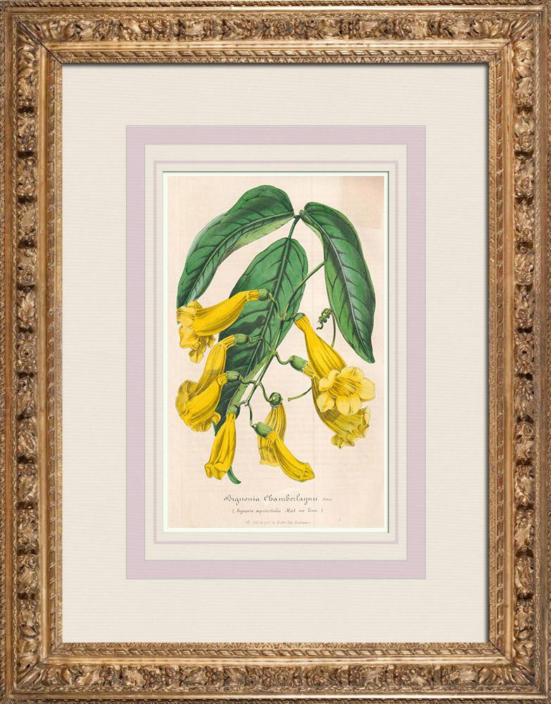 Stampe Antiche & Disegni | Fiori - Bignonia - Bignoniaceae | Litografia | 1847